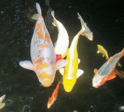 zpz teichfische teichpflanzen zubeh r teichbau