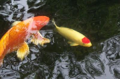 Zpz teichfische teichpflanzen zubeh r teichbau for Teichfische versand