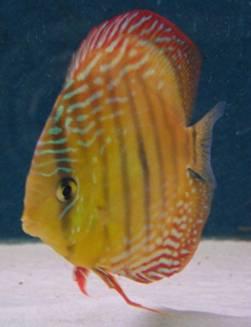 Teichfische teichpflanzen alternative haltung und verkauf for Teichfische verkauf